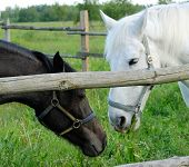 Two Horses In A Pen