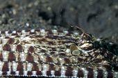 Mimic Octopus Lying Flat in Lembeh Straits
