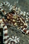 Mimic Octopus Close-up in Lembeh Straits
