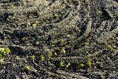 Surface Of Frozen Lava With New Plants. Frozen Lava Background poster