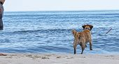 A Golden Retriever Is Playing Fetch With Its Owner By Chasing A Stick Toward The Ocean On A Fire Isl poster