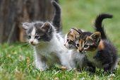 Three Little Kittens In The Green Grass. Little Kitties Play Outside poster