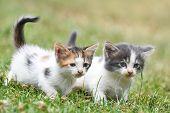 Two Little Kittens In The Green Grass. Little Kitties Play Outside poster