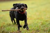 Two Black Labradors Playing With A Stick In The Garden poster