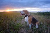 Dog Beagle In A Meadow In Summer Against A Sunset. Portrait Cute Face Beagle Dog On Meadow poster