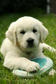 foto of golden retriever puppy  - Golden retriver puppy laying on grass with disc - JPG