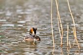 picture of great crested grebe  - great crested grebe swimming in the water - JPG