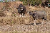 picture of female buffalo  - Black buffalo in a rice field in Thailand - JPG