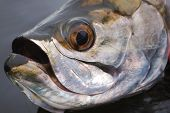 Tarpon Close Up