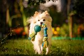Beautiful White Dog - Pomeranian German Spitz Klein Fetching A Toy Running Towards Camera. Small Dom poster
