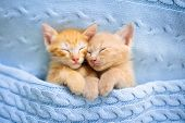 Baby Cat. Ginger Kitten Sleeping Under Blanket poster