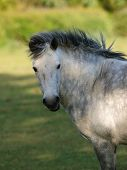 stock photo of dapple-grey  - Head shot of a grey Connemara pony in field - JPG