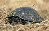 Turtle In The Dry Grass
