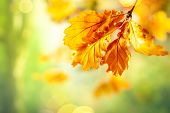 Autumn yellow leaves  of oak tree in autumn park. Fall background with leaves. Beautiful autumn land poster