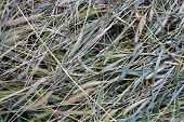 Green Dried Dry Green Grass, Setaria, Foxtail Or Bristle Grasses. An Unusual Chaotic Background Of S poster