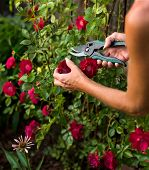 Trimming A Rose Bush
