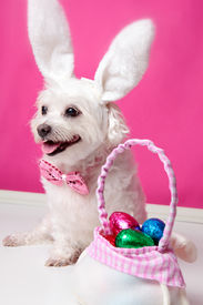 foto of bag-of-dog-food  - Happy dog wearing bunny ears sits beside a bag ful of easter egg chocolates - JPG