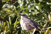 image of mockingbird  - Close up view of a northern mockingbird sitting in a tree