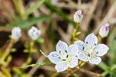 Flores Alpina Edelweiss