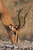 male impala grazing