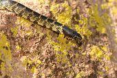 Desert Kingsnake Camouflage
