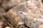 New Mexico Ridge-Nosed Rattlesnake
