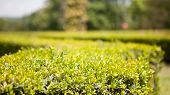 Ornamental Boxwood