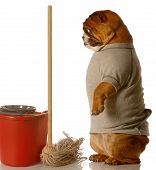 Bulldog Standing By Mop And Bucket