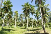 Palm plantation on the island of La Digue