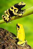 O sapo Dendrobatidae Dendrobates leucomelas em florestas tropicais.