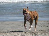 Boxer Running on the beach