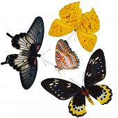 collection of butterflies insects