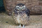 Cute Burrowing Owl Portrait 1