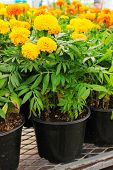 Marigolds in a pot