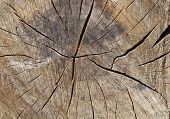 Texture Of The Tree. Log