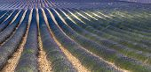 stock photo of plateau  - Plateau de Valensole (Alpes-de-Haute-Provence Provence-Alpes-Cote d