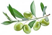 Branch of olive tree with green olives on it isolated on a white.