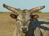 foto of bull riding  - A large horned bull looking right at you - JPG