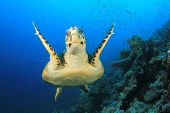 pic of hawksbill turtle  - Hawksbill Sea Turtle swims over coral reef - JPG