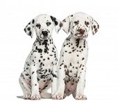 Front view of Dalmatian puppies sitting, facing, isolated on white
