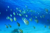 picture of sergeant major  - Scissortail Sergeant Fish in blue water - JPG
