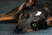 image of cattle dog  - Blue heeler dog laying down on blue carpet and looking up - JPG