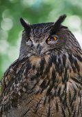 Eagle Owl (bubo Bubo) Portrait
