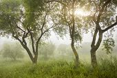 Misty Morning In Olive Grove