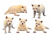 pic of albinos  - collection of baby albino raccoon isolated on white background - JPG