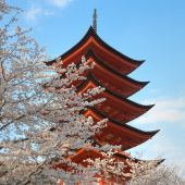 pic of cherry blossom  - Classic Shinto Pagoda with full blossom cherry trees at Miyajima Japan - JPG