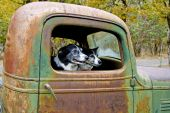 Two Dogs In An Old Truck