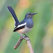 foto of robin bird  - beautiful black and white bird Oriental Magpie Robin  - JPG