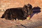 Black Goat Lying In The Street