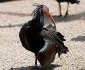 Northern Bald Ibis Or Waldrapp (geronticus Eremita)